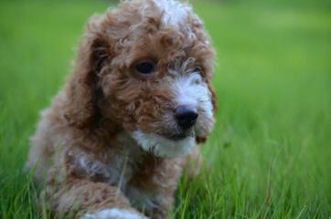 Griffith Kennels Ckc Mini/Toy Goldendoodle Puppies - Dog and Puppy Pictures