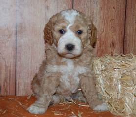 Laura's Miniature Goldendoodles - Dog Breeders
