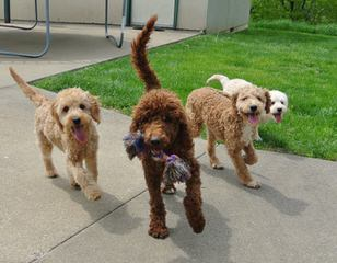 Laura's Miniature Goldendoodles - Dog and Puppy Pictures