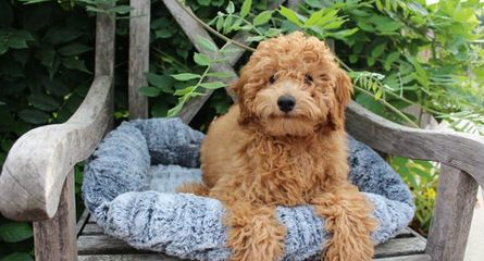 Moss Creek GoldenDoodles English F1 - Dog Breeders