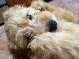 Mini & Petite Goldendoodles - Dog and Puppy Pictures
