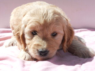 Laura's Miniature Goldendoodles - Dog Breeders