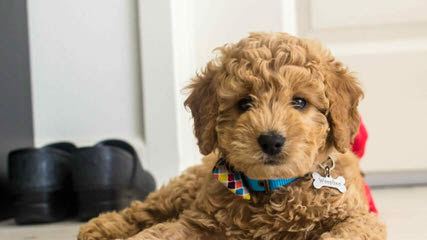 Kaosfarm Minature Goldendoodles - Dog Breeders