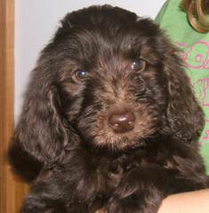 Marilace Puppies – Miniature Goldendoodle - Dog Breeders