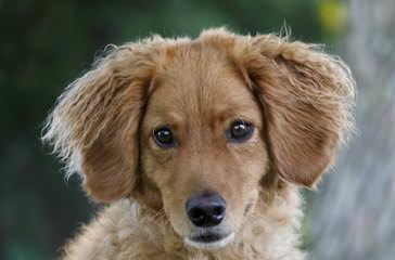 Mini Goldendoodles Available - Dog Breeders