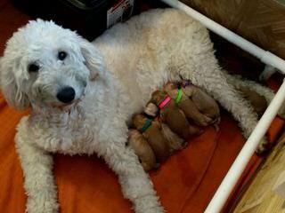 Stroodle's Doodles, Petite, Medium And Mini Goldendoodles - Dog Breeders