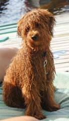 Oodles Of Doodles Miniature Goldendoodle - Dog Breeders