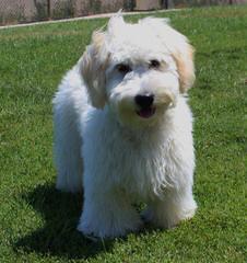 Kaosfarm Minature Goldendoodles - Dog Breeders