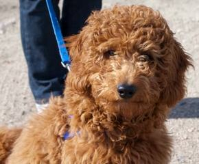 Doodles By Donna F1 & F1b Goldendoodles - Dog and Puppy Pictures