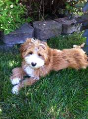 Miniature Goldendoodle Luxury Pets - Dog and Puppy Pictures