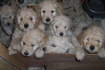 Moss Creek GoldenDoodles English F1 - Dog and Puppy Pictures