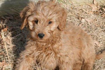 Puppies By Design  Petites,Mediums & Minis - Dog Breeders