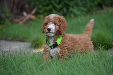 Petite And Mini Goldendoodles With Teddy Bear Faces - Dog Breeders