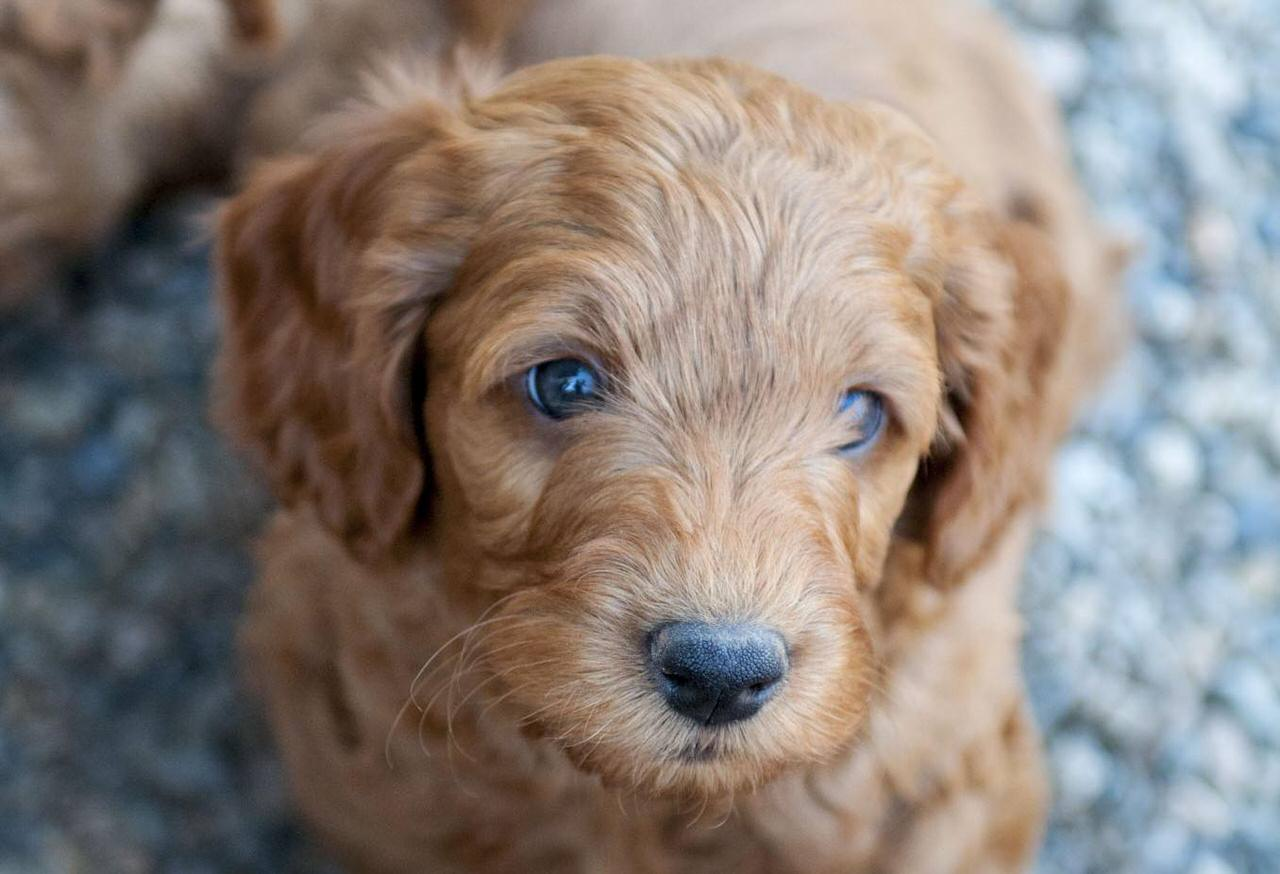 Miniature Labradoodle Dogs and Puppies