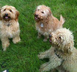 Danmar Labradoodles F1 Labradoodles And Mini Australian Labradoodles - Dog Breeders