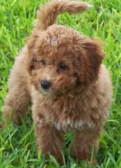 Artisan Labradoodles - Dog Breeders