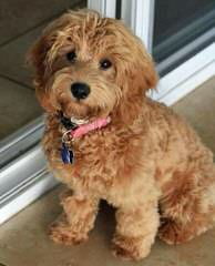 Miniature Labradoodles - Dog and Puppy Pictures