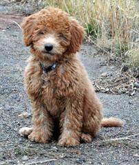 Howdy Doodles – Mini/Med Australian Multigen Litter Pups Available - Dog Breeders