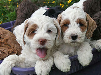 Jenn's Doodles - Dog Breeders