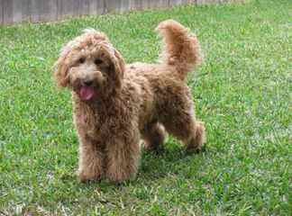 Red Rock Labradoodles-Red F1b Labradoodle Puppies - Dog Breeders