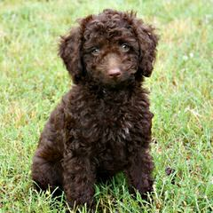 Family-Raised F1b Labradoodle Puppies - Dog and Puppy Pictures