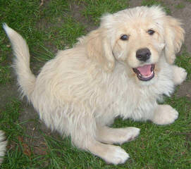 Rainmaker Ranch Labradoodles Breeding Mini & Medium Australian Labradoodles - Dog and Puppy Pictures