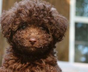 Miniature Labradoodle Puppies For Sale Miniature
