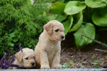 Rainmaker Ranch Labradoodles Breeding Mini & Medium Australian Labradoodles - Dog Breeders