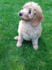 Miniature Labradoodles - Dog Breeders
