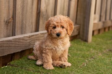 Miniature Labradoodle Puppies For Sale Miniature