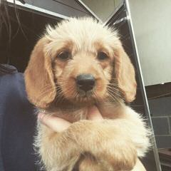 Morning Smile Labradoodles – Quality Australian Multigen Puppies - Dog and Puppy Pictures