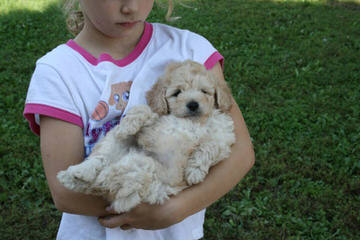 Daisy Doodles Of Nc – Miniature Labradoodle - Dog Breeders