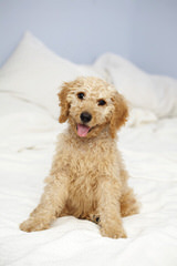 F1 + F1b Mini Labradoodles - Dog Breeders