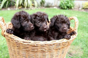 Artisan Labradoodles - Dog and Puppy Pictures