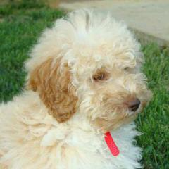 Family-Raised F1b Labradoodle Puppies - Dog Breeders