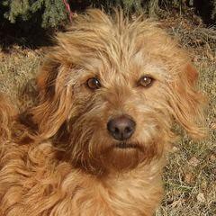 Labradoodles By Lauderdoodles - Dog Breeders