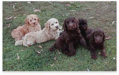F1 + F1b Mini Labradoodles - Dog Breeders