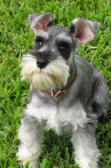Country Home Schnauzer - Dog Breeders