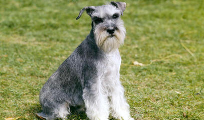 Belle Vista Miniature Schnauzers - Dog Breeders