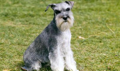 Texas Schnauzers - Dog Breeders