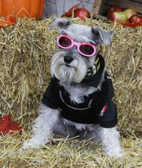Sweet P Miniature Schnauzers - Dog and Puppy Pictures