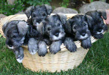Toy Schnauzer Xing - Dog Breeders