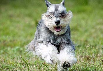 Tiny Tot Schnauzers - Dog Breeders