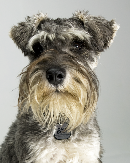 Schnauzers Of Taylor - Dog Breeders