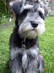 Miniature Toy Type Schnauzers For Sale - Dog Breeders