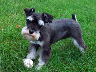 Kids Kountry Kennel Akc And Ckc Miniature Schnauzer Puppies - Dog Breeders