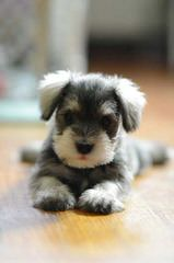 Kindred's Classic Schnauzers - Dog and Puppy Pictures