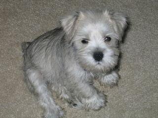 Seeking Stud Miniature Schnauzer - Dog Breeders