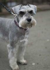 Mini Schnauzer Puppies - Dog Breeders