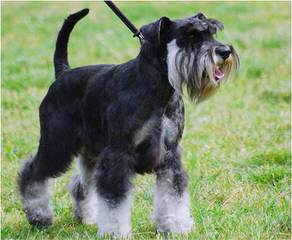 My Schnauzers - Dog Breeders